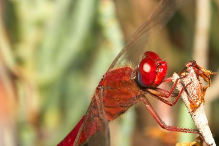 Dragonfly ( sympetrum sp ) Stock Photo - 713053