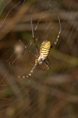 arachnoid: Spider (argiope bruennichi) Archivio Fotografico