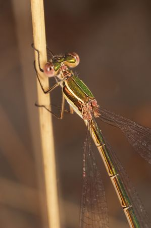 zygoptera: Dragonfly (Lestes Barbarus) Stock Photo