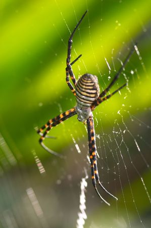 Spider (argiope bruennichi) Stock Photo