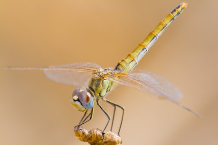 Image of a dragonfly ( sympetrum sp ) accomplished like photo of approximation. Stock Photo - 3950413