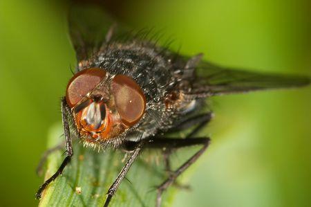 Little Blowfly ( sarcophaga carnaria ) on a little branch photo