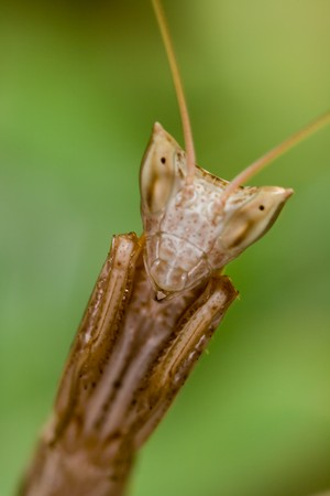 Mantiss specimen ( Apteromantis wingless ) posing with a terrifying appearance photo