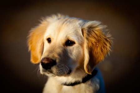 Nice specimen of dog of the race Golden Retriever photo