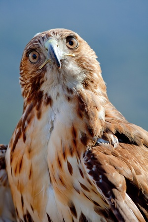 Fantastic eagle of red tail (Buteo jamaicensis) posing placidly Stock Photo - 9327992
