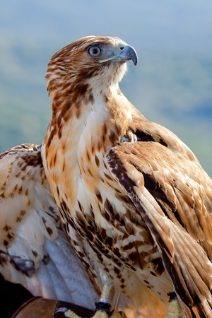 Fantastic eagle of red tail (Buteo jamaicensis) posing placidly Stock Photo - 9485785