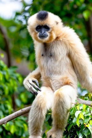 biped: Precious specimen of Gibbon of golden cheeks