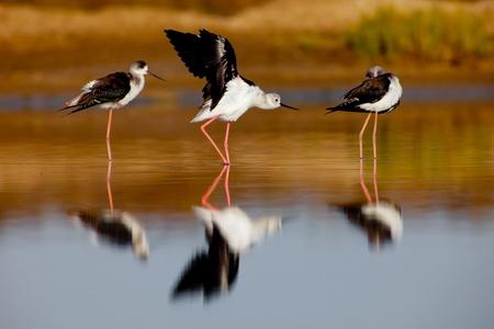 Three black-winged Stilt taking a break on the water photo