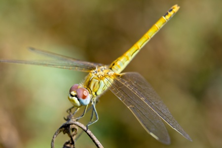 Image of a dragonfly ( sympetrum sp ) accomplished like photo of approximation. photo