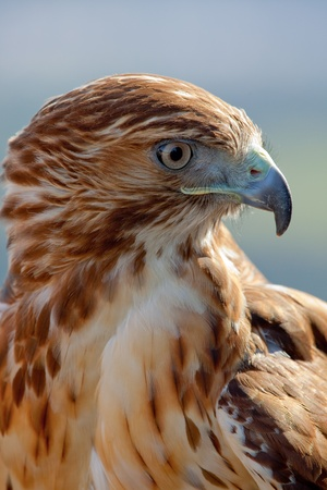 prey: Fantastic eagle of red tail (Buteo jamaicensis) posing placidly
