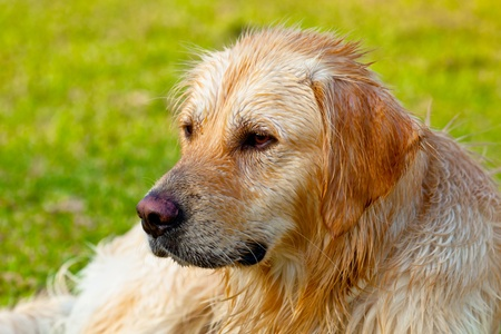 Nice specimen of dog of the race Golden Retriever photo
