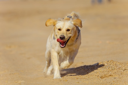 Nice specimen of dog of the race Golden Retriever running Foto de archivo
