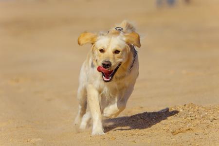 contented: Nice specimen of dog of the race Golden Retriever running Stock Photo