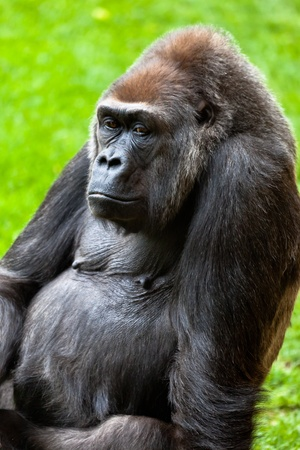 Beautiful specimen of gorilla seated placidly Stock Photo - 10496138