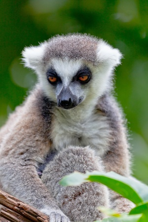 Beautiful specimen of Lemur of ring-shaped tail taking up a curious pose photo