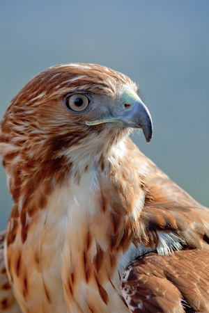 Fantastic eagle of red tail (Buteo jamaicensis) posing placidly photo