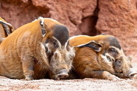 bush hog: Varias muestras de cerdo rojo r�o, porcus pictus Potamochoerus Foto de archivo