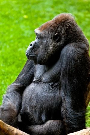 Beautiful specimen of gorilla seated placidly Stock Photo - 10603650