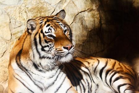 Fantastic specimen  of Bengal tiger posing placidly Stock Photo - 10603660