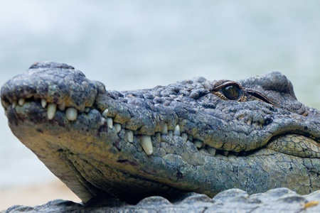 Detail of the head of a nile crocodile, Crocodylus niloticus Stock Photo