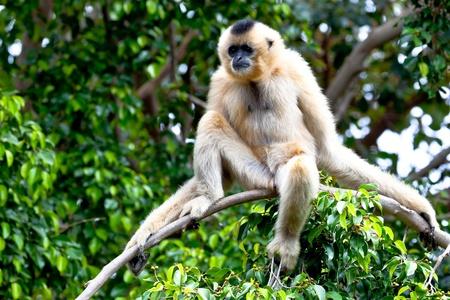 hominid: Prezioso esempio di Gibbon delle guance d'oro