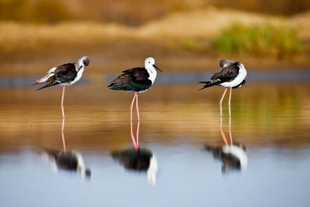 Three black-winged Stilt taking a break on the water Stock Photo - 10638455