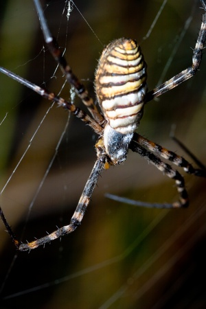 A spider,  Argiope bruennichi,  of considerable size and threatening aspect Stock Photo - 10664421
