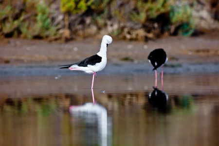 Two black-winged Stilt searching for some to eat Stock Photo - 10664453
