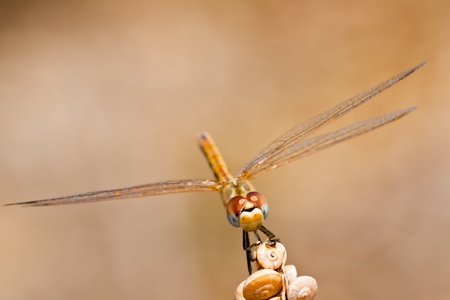 libellulidae: Image of a dragonfly ( sympetrum sp ) accomplished like photo of approximation.