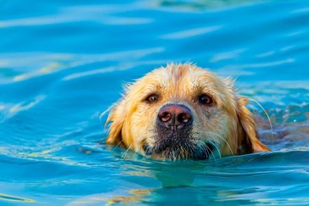 スイミング プールでのレースのゴールデン ・ リトリーバー水泳の犬の素晴らしい標本