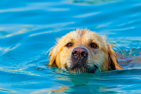 specimen: Nice specimen of dog of the race Golden Retriever swimming on a  swimming pool