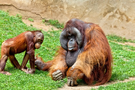 Two beautiful specimen of Orangutan of Borneo, Pongo Pygmaeus photo