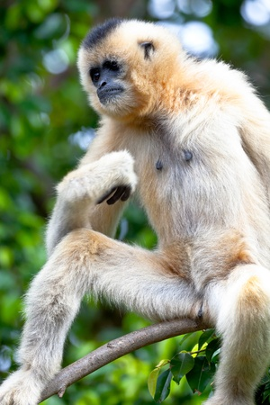 Precious specimen of Gibbon of golden cheeks photo