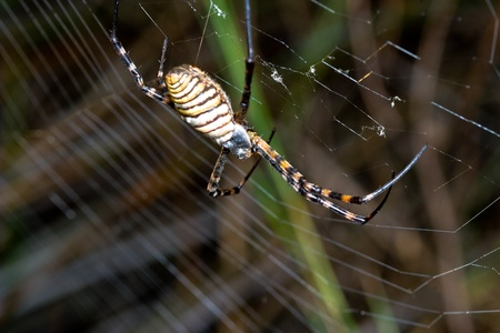 A spider,  Argiope bruennichi,  of considerable size and threatening aspect Stock Photo - 11102449