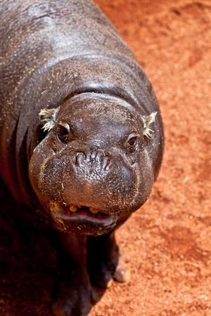pigmy: Sympathetic specimen of Hippopotamus pigmy, Hexaprotodon liberiensis