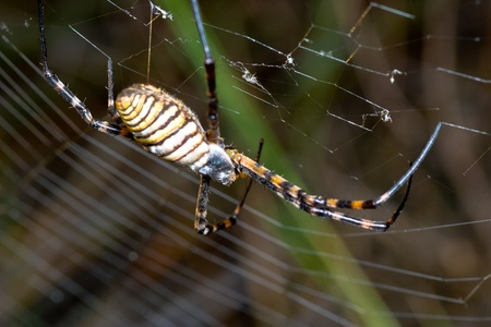 A spider,  Argiope bruennichi,  of considerable size and threatening aspect photo