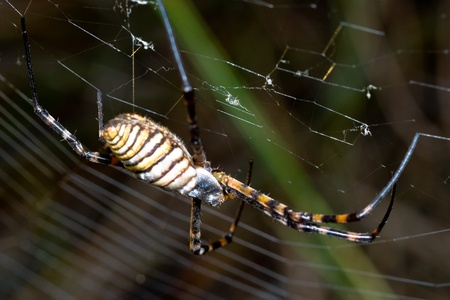argiope: A spider,  Argiope bruennichi,  of considerable size and threatening aspect Stock Photo
