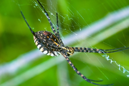considerable: A spider,  Argiope bruennichi,  of considerable size and threatening aspect Stock Photo