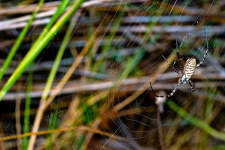 A spider,  Argiope bruennichi,  of considerable size and threatening aspect Stock Photo - 12199860