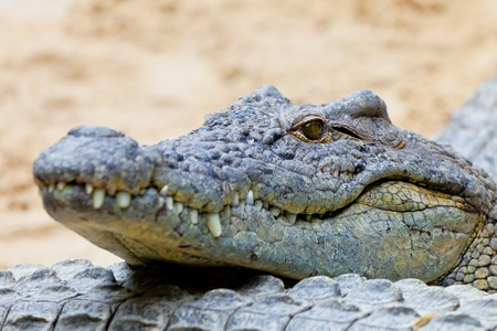 Detail of the head of a nile crocodile, Crocodylus niloticus Imagens