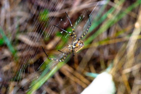 A spider,  Argiope bruennichi,  of considerable size and threatening aspect Stock Photo - 13255858