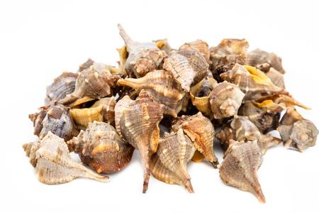 murex shell: Lots of purple or spiny dye murex , bolinus Brandaris on a white background