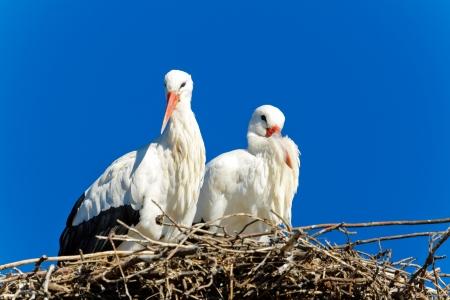 ciconiiformes: Beautiful white stork