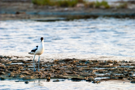 avocet: Beautiful pied avocet, Recurvirostra avosetta on the waters of the Bay of Cadiz