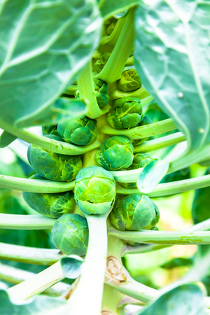 Bunch of brussels sprouts in a brunch on a white background