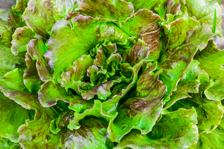 lettuces: Composition of a bunch of lettuces on a soil background