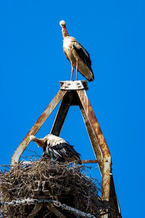 Beautiful white stork