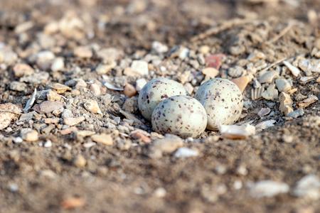 Three Eggs of Black-winged Stilt on the ground