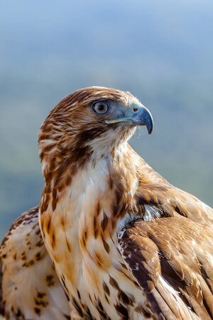 Fantastic eagle of red tail (Buteo jamaicensis) posing placidly