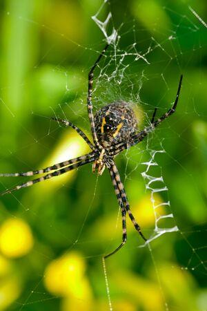 A spider,  Argiope bruennichi,  of considerable size and threatening aspect Banco de Imagens